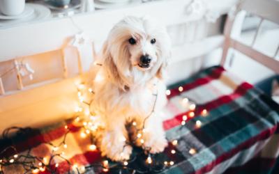 Vánoční focení v Dejte nám šanci z.s. aneb jak nacpat vlkodava na vánoční fotku